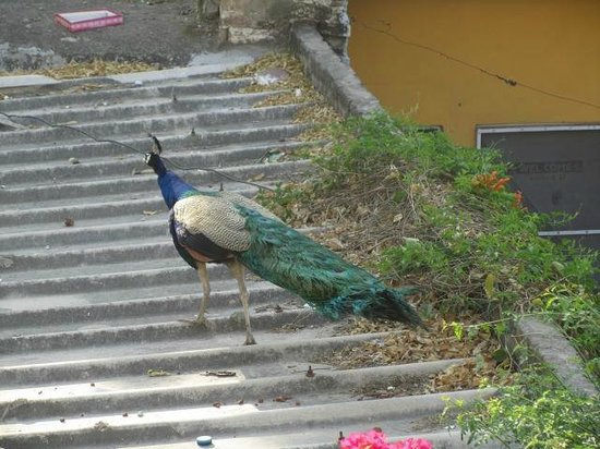 Jai Vilas, Jaipur : peacock right outside our bedroom