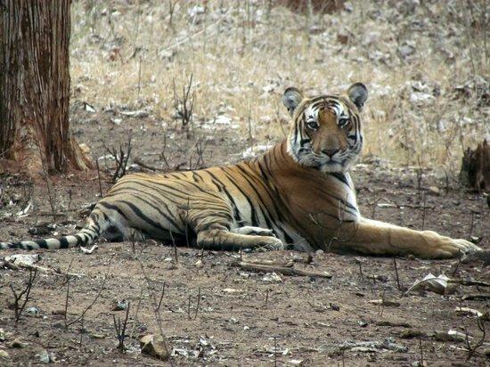 Evolve Back, Kabini: Tiger we saw in the Nagarhole National Park