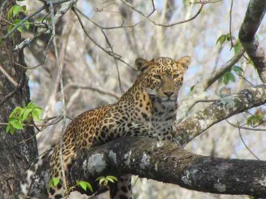 Evolve Back, Kabini: Leopard we saw in Nagarhole National Park