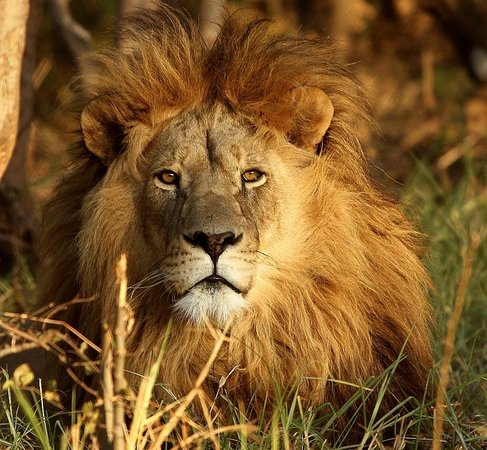 Khakiweed Photographic Safaris: African Male Lion Sunset johannebsurg tours