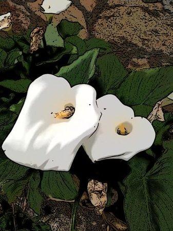 Hotel Turk: Turk lily flowers