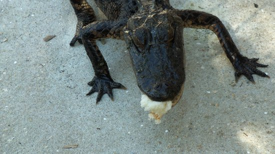 Gatorama: baby eating the bread we fed him