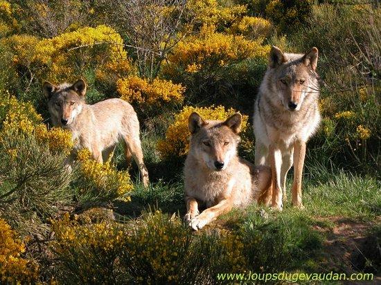 Les Loups du Gevaudan