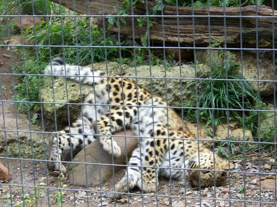 Thurmont, MD: playful leopard