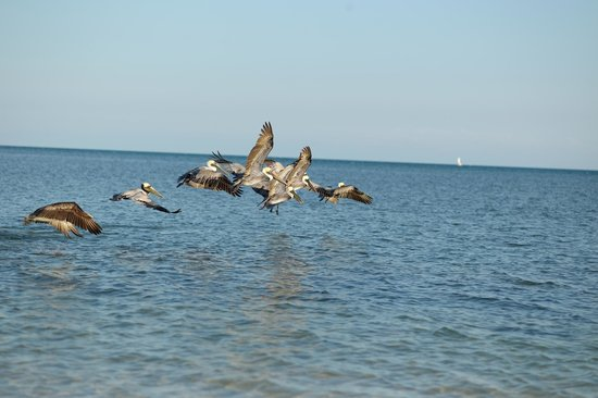 Little Palm Island Resort & Spa, A Noble House Resort : Pelicans