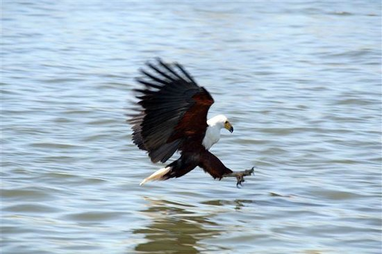 De Zeekoe Guest Farm: Fish Eagle