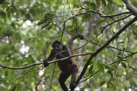 Casa Corcovado Jungle Lodge: Monkeys near our room
