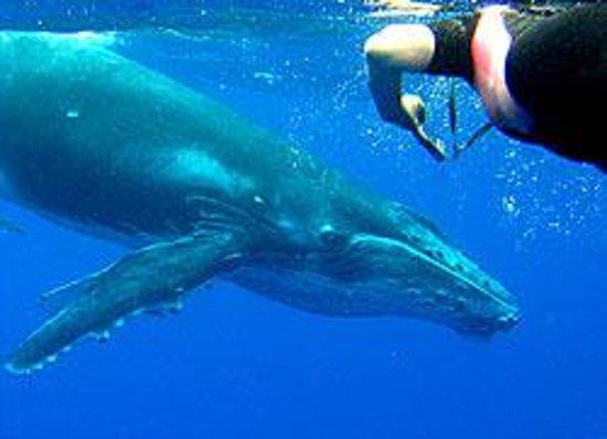 Whales in the Wild : A curious calf