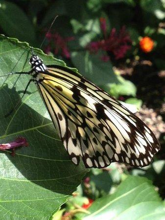 Reiman Gardens: butter fly