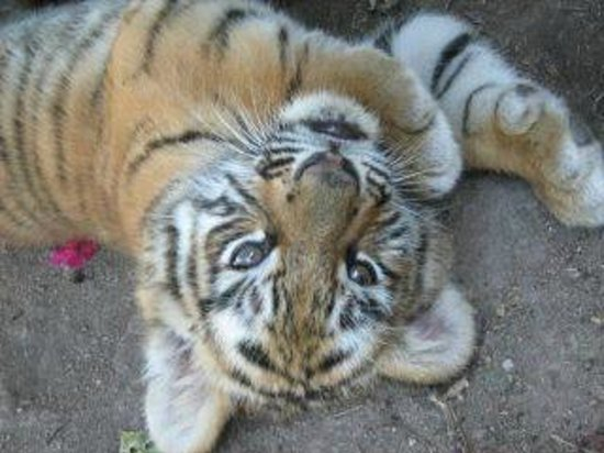 El Tigre Golf at Paradise Village: 6 week old Bengal Tiger cub @ El Tigre golf course