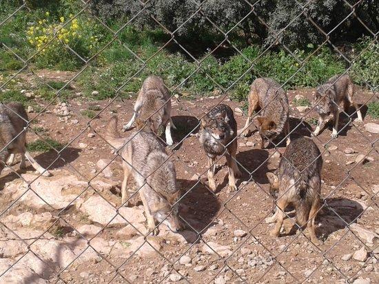 Lobo Park: Wolf pack
