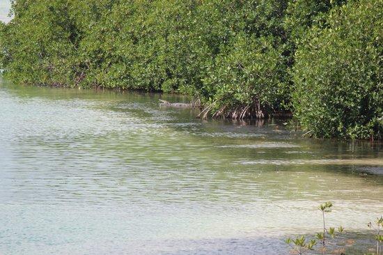 Sian Ka'an Biosphere Reserve: Coccodrillo