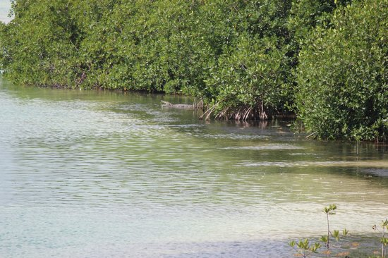 Sian Ka'an Biosphere Reserve: Grosso Coccodrillo