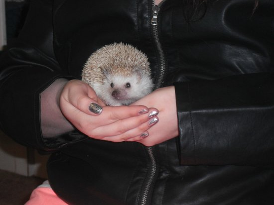 Headwaters Science Center: Thistle, the friendly hedge hog.