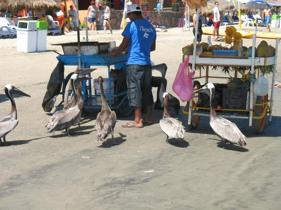 Decameron Los Cocos: Pelicans all over waiting for a handout