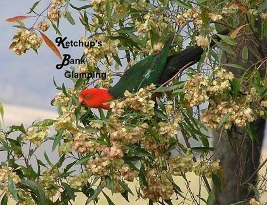Ketchup's Bank Glamping: Feed the King Parrots at your luxury eco-tent