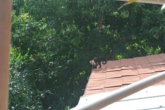 Hotel Manuel Antonio: A monkey who visited next door
