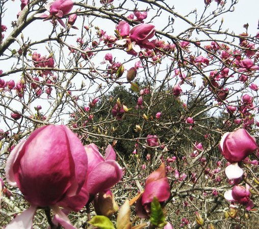Sand Rock Farm Bed and Breakfast: Tulip trees in bloom