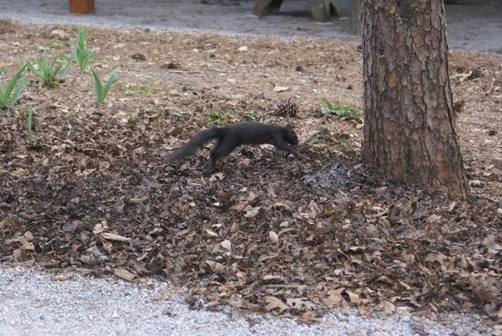 Gadsden, AL: Unusual black squirrel roaming the park.