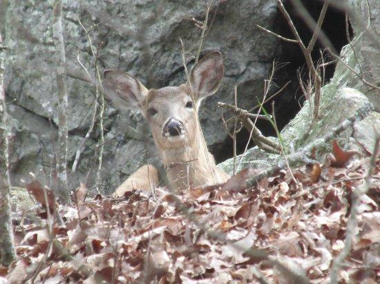 Kennesaw Mountain National Battlefield Park: Deer