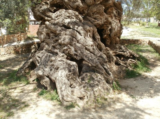 Olive Tree Museum of Vouves: Ancient Olive Tree of Vouves