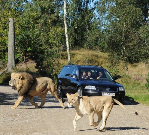 Give, Dinamarca: The pride of lions in GIVSKUD ZOO is Denmark's biggest, so you are always sure to see lots of th