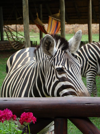 Marloth Kruger Lodges: Zebra