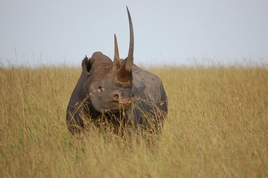 Oloshaiki Camp: A big huge old Rhino