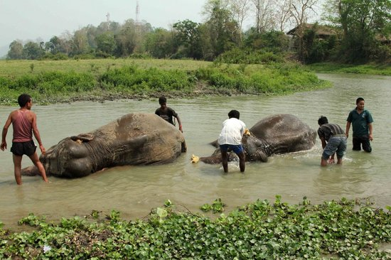Diphlu River Lodge : ...and you can bath an elephant here