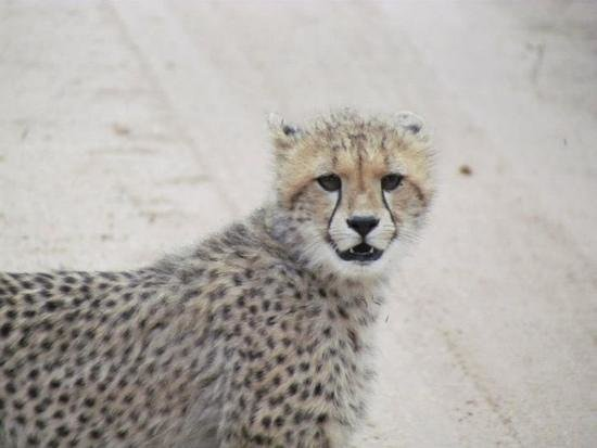 Elephant Plains Game Lodge: cheetah cub