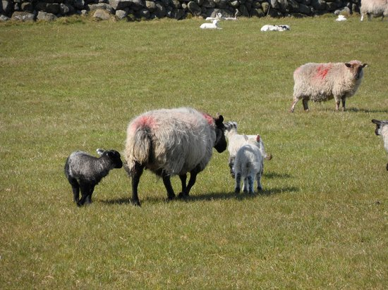 Silent Valley and Ben Crom Reservoirs: Lambing season, Silent Valley