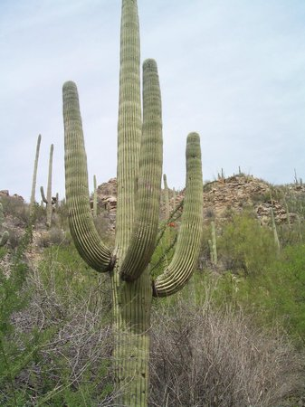 Loews Ventana Canyon Resort: Saguaro behind hotel on the walking trail