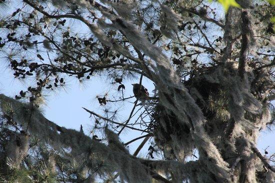 Paynes Prairie: eagle