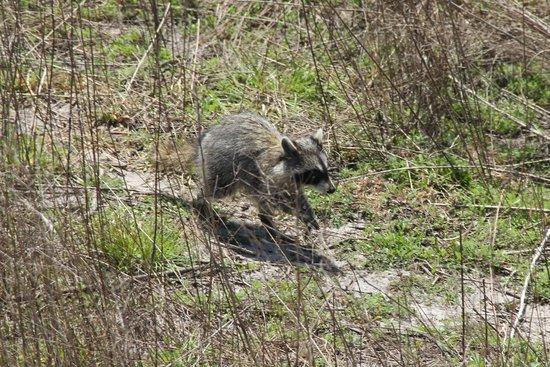 Paynes Prairie: Raccoon