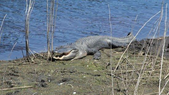 Paynes Prairie: Gator