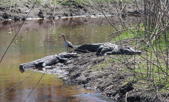 Paynes Prairie: Gators