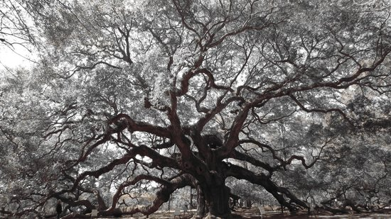 Johns Island, Karolina Południowa: Angle Oak (brown, black, and white photo)