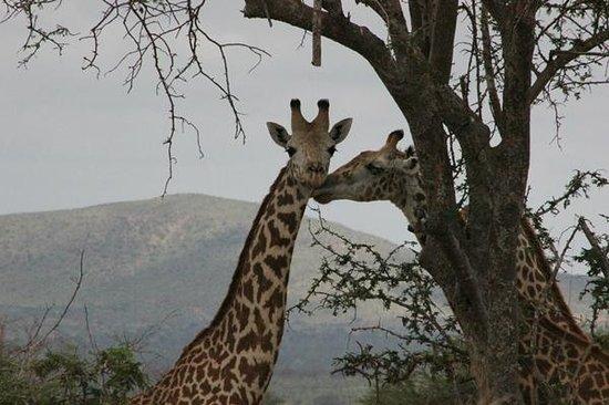 Mimi na Wewe...in Africa!: Giraffe allo Tsavo