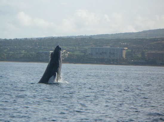 Napili Kai Beach Resort: Whale watching with Captain Steve out of Lahaina