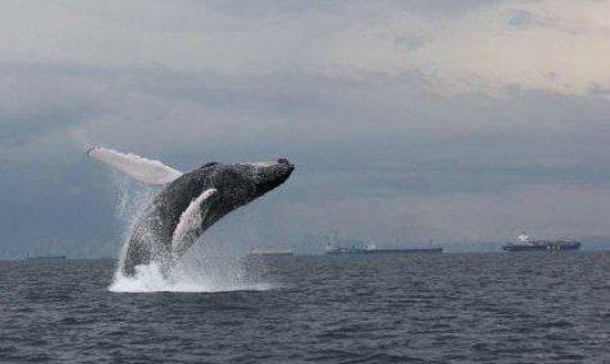 Whale Watching Panama : Humpback whale breaching near Panama city, Panama