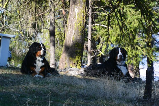Crooked Tree B&B Guest Suites: Bear and Forest, the resident Bernese