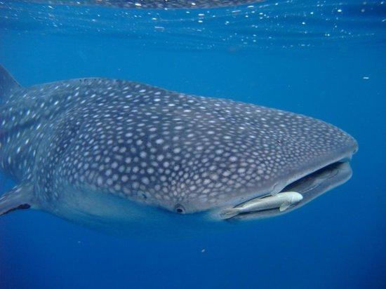 Peters Dive Resort: Whale Shark