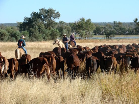 Great Australian Outback Cattle Drive