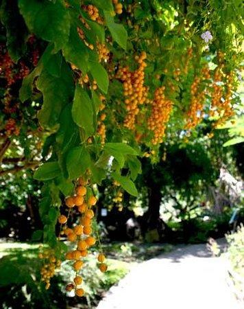Jardin d'Eden : Arbre à petites baies oranges