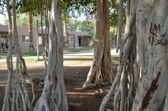 Ein Gedi Hotel: Ficus Trees