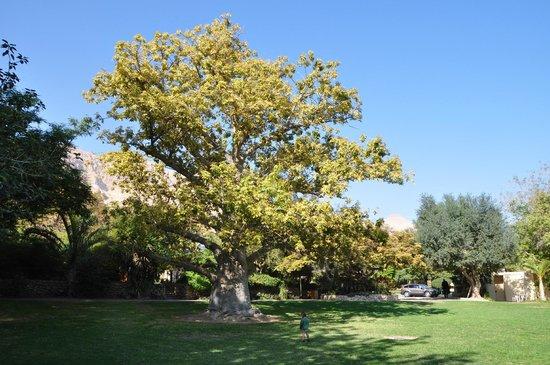 Ein Gedi Hotel: A Baobab Tree