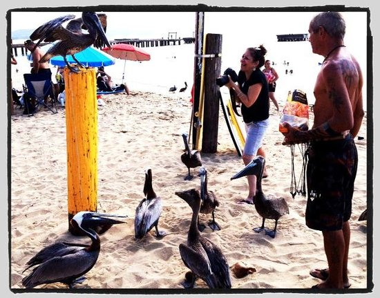 """Crashboat Beach: """"trained"""" brown pelicans at Crash Boat Beach"""