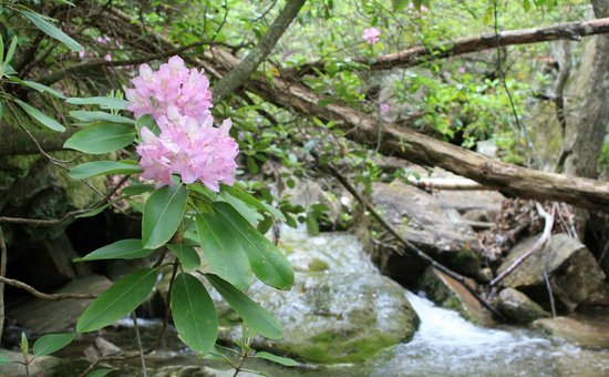 DeSoto State Park : Native Rhododendrons bloom the West Fork of Little River in the Spring in May