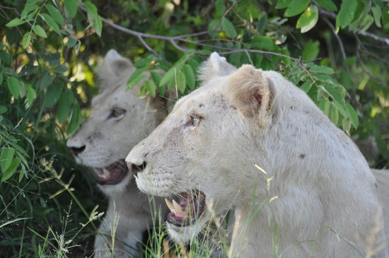 Kambaku Safari Lodge: White lions