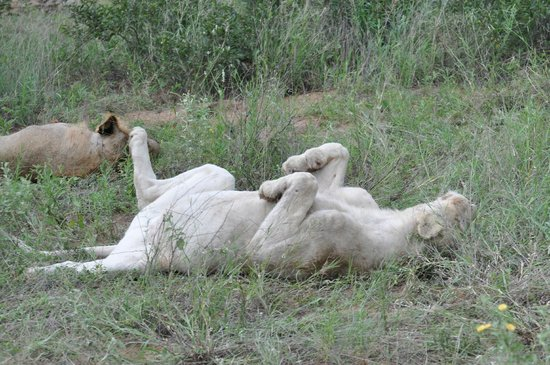 Kambaku Safari Lodge: White lion